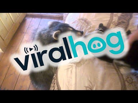 Waschbär flirtet mit Katze