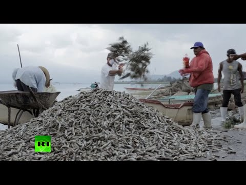 fish - Mexican authorities said on Monday that thousands of fish found dead in a lake in western Mexico did not die of natural causes. Over 53 metric tons of rotting fish have been removed so far...