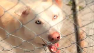 Leo - Siberian Husky / Mixed (short coat) Dog For Adoption