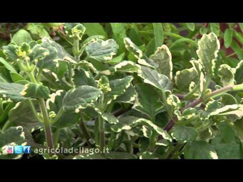 6 piante antizanzare da tenere sul balcone e sul davanzale