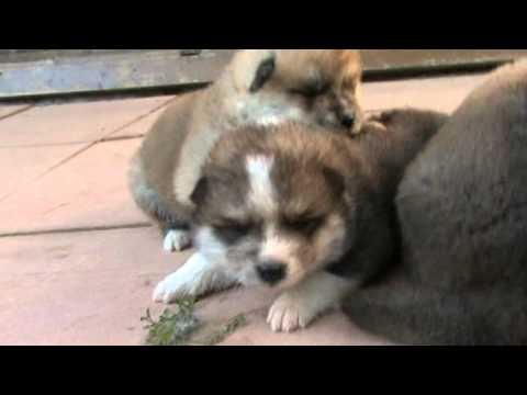Akita inu: cuccioli ICHIBANS di 20 giorni nipoti di Bandou Taro e figli di Nikita