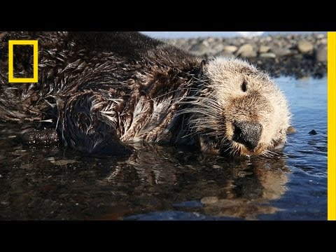 Why Hundreds of Sea Otters Died in the Pacific | National Geographic