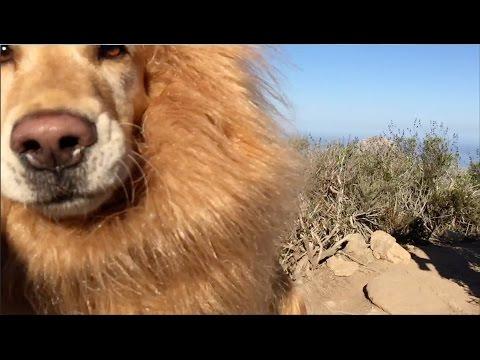 Lion cut dog lab