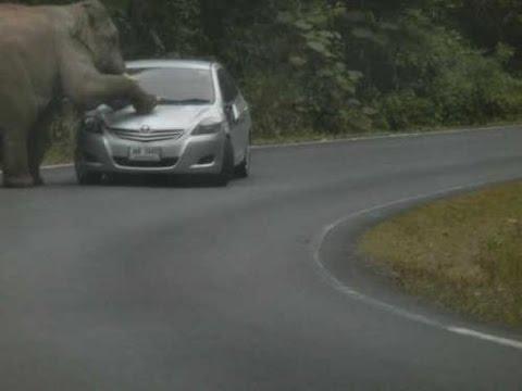 Mi történik ha egy elefánt, egy autóval találkozik?