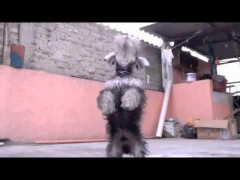 Schnauzer Miniature bailando