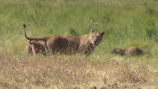 Video Wildlife in Ngorongoro (Tanzania): Tanzaniyanın Nqoronqoro Milli Parkında çəkdiyimiz ov MP3, 3GP, MP4, WEBM, AVI, FLV Oktober 2018