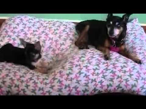Chihuahua puppy barking at Min-Pin, and talking back!  Sooo cute!