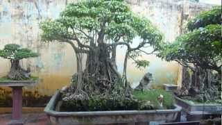 Hung Yen Vietnam  City pictures : Bonsai Hung Yen VietNam
