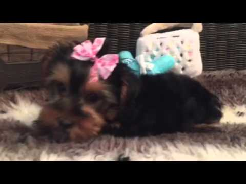 Gorgeous little female Yorkie