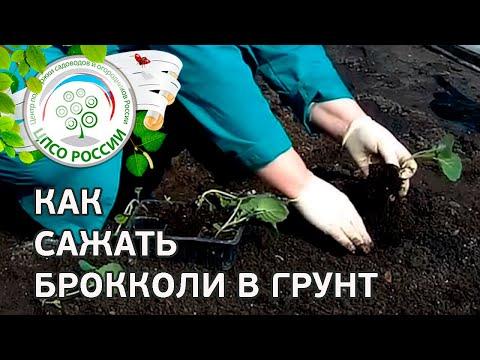 Как посадить капусту брокколи. Сажаем рассаду брокколи в грунт.