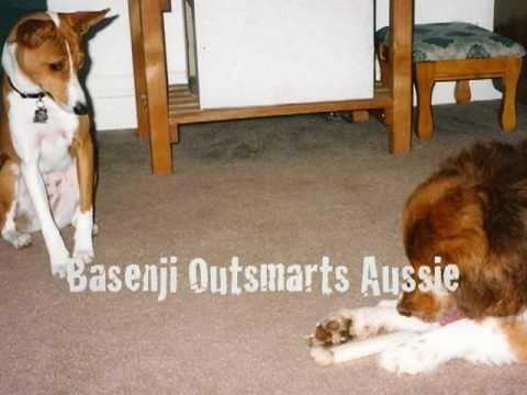 Basenji Outsmarts Aussie