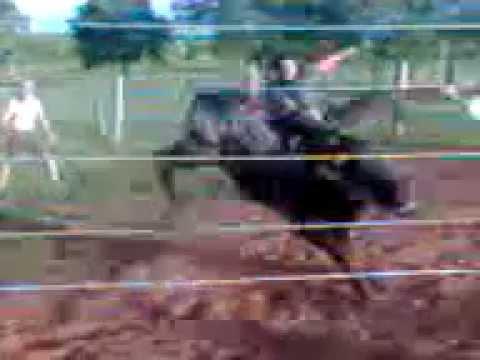 Pit bull Treino no marcao dirce reis