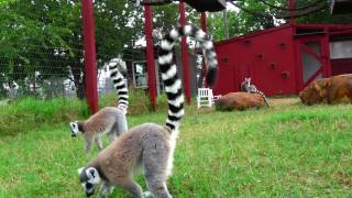 CARE Lemur Party May 2017