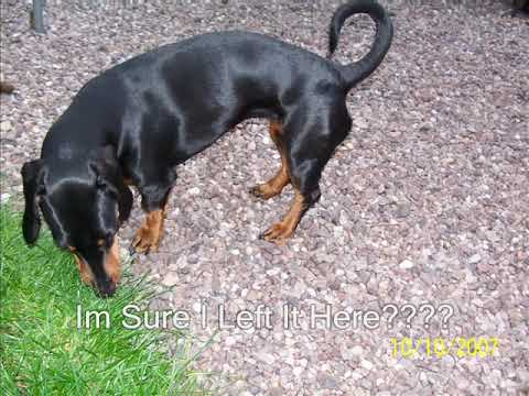 Doberman Cross Dachshund
