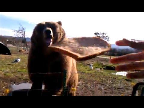 Kodiak Bear Playing Catch - Caught on tape!!