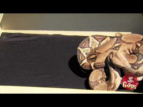 Real Snake In Box Prank