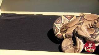 Real Snake In Box Prank