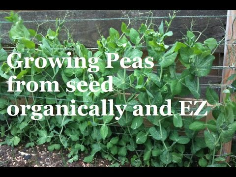 How to Grow Peas from Seed – Organic Vegetable Gardening