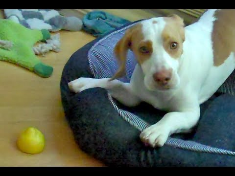 Lemon Beagle Puppy vs. Lemon %3A Cute Dog Maymo