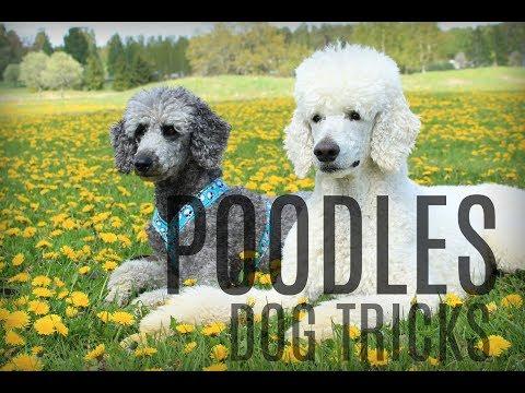 Poodle party || amazing dog tricks (видео)