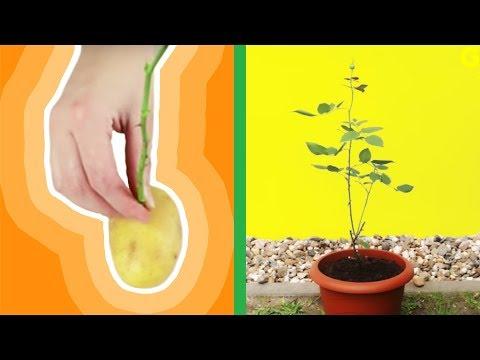 avocado pflanzen avocadobaum selber ziehen. Black Bedroom Furniture Sets. Home Design Ideas