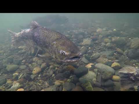 Feather River Fall Run Salmon 2017