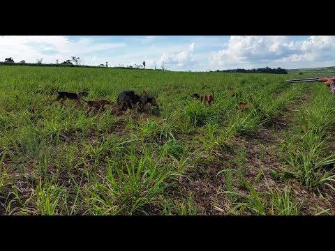 Caçada De Javali - Rápida e muito toque de cachorro americano.
