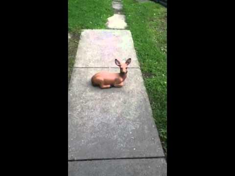 Chihuahua Deer 2!