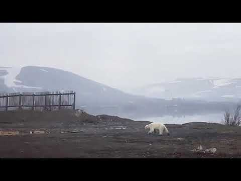 Video - Σιβηρία: Πεινασμένη πολική αρκούδα περιπλανιέται αναζητώντας τροφή (vid)