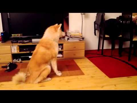 akita learning basic orders