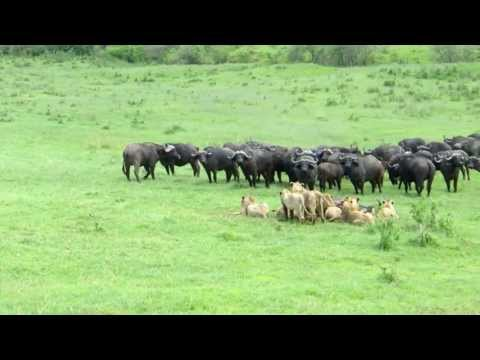 Buffalo - January 2013, Ngorongoro Conservation Area, lion's are eating a buffalo while the buffalo's still try to protect their fellow.