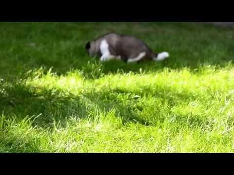 Vendita cuccioli akita americano