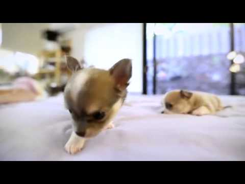 Chihuahua Puppies World's Most Beautiful