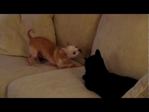 Cute Chihuahua Puppy is Annoying the Cat