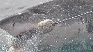 En el mundo existen verdaderos colosos del mundo animal, especies gigantescas que lucen absolutamente terroríficas por sus enormes dimensiones. Y los tiburones son unos de ellos, llegando inclusive a medir más de 13 metros de longitud y un peso de más de 20 toneladas. Estos son algunos de los tiburones más grandes del mundo: tiburón zorro, tiburón azotador, tiburón martillo gigante, tiburón de Groenlandia, tiburón tigre, gran tiburón blanco, tiburón peregrino, tiburón ballena.Fondo musical: TV Drama Version 1 de Audionautix está sujeta a una licencia de Creative Commons Attribution (https://creativecommons.org/licenses/by/4.0/)Artista: http://audionautix.com/Imágenes:pixabay.com (video); videvo.net; wikipedia.org (8)***Videos recientes: https://tutovariedades.comListas de reproducción: https://listas.tutovariedades.comSuscríbete: https://sub.tutovariedades.comADVERTENCIA: Las imágenes podrían ser solamente ilustrativas y no corresponderse con la realidad. No se puede garantizar que la información consignada en este video sea verífida, y debe ser considerada como una obra literaria de caracter educativo y/o con fines de promoción.ACERCA DEL CANAL: tutovariedades es un canal especializado en videos de curiosidades, misterios, animales y, en síntesis, todo lo más extraño, raro, curioso e increíble del mundo. Desde temas de cultura como ciencia y tecnología o casos de superación y motivación que te harán pensar y reflexionar, hasta historias de miedo y horror que te pondrán los pelos de punta como ovnis, fantasmas y enigmas, pasando por hombres y mujeres sorprendentes, famosos de cine y televisión, records y tops.Todo un mundo de entretenimiento con la verdadera historia de hechos, lugares  y personas. Así que ¡qué esperas! Sólo suscríbete y siéntate a disfrutar del mejor contenido de variedades y lo mejor: en un solo sitio, con narración profesional estilo locutor e imágenes de alta calidad.