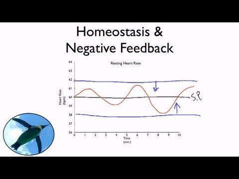 Homöostase und negatives Feedback