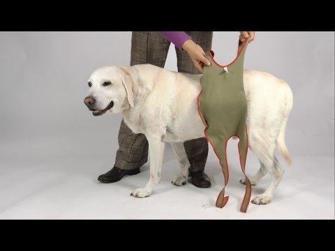 Anziehanleitung der piccobello Hundewindeln für grosse Rüden (Rüdenwindel)