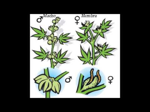 hermafroditas - Espero les interece, solo es para qe sepan distinguir el sexo de una planta de MARIHUANA.