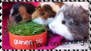 Yes, the girls are back together at last! This video explains how I successfully bonded my female guinea pigs after a fight. I also run through post-introduction bonding tips - not usually covered in intro videos, to help your guinea pigs settle in together without any unexpected fights!!LINKS!Facebook: https://www.facebook.com/SqueakDreams/Instagram: @squeak_dreamsEtsy: https://www.etsy.com/uk/shop/SqueakDreams