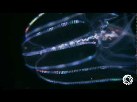 The Lobed Comb Jelly