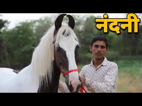 सोर्य घोड़े की बच्ची नंदनी!! Nikhil Mathur-Jodhpur