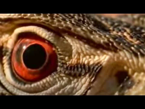 Desert - Welcome to Australia - the land of the lizard! Wild Australian poisonous animals like snakes and scorpions are no match for these reptiles. From the BBC.