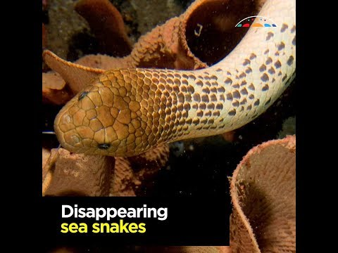Disappearing sea snakes surprise researchers with hidden genetic diversity