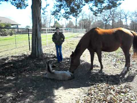 Baby horse falls over.. for the funniest reason!
