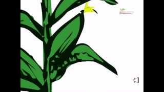 Genetically modified crops (gmo foods)