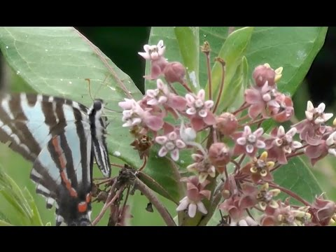 Monarchs and milkweed: Students investigate a decline