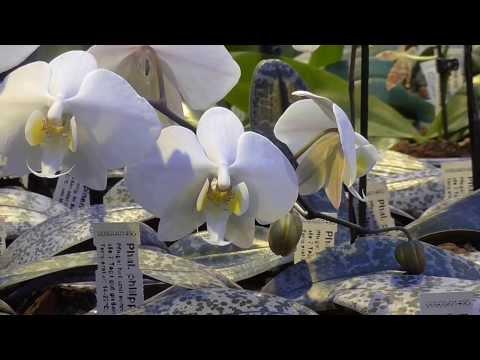 Orchideen Arten: Phalaenopsis philippinense