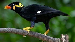 Ngeri Banget Suara Burung ini Bikin Merinding