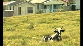 La tique tropicale du genre Amblyomma à Antigua