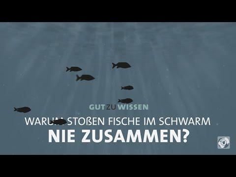 Warum stoßen Fische im Schwarm nie zusammen?
